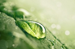 Large beautiful drop of transparent rain water on green leaf macro. Drops of dew in morning glow in sun. Beautiful leaf texture in nature. Natural background, copy space.