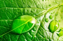 Large beautiful drops of transparent rain water on a green leaf macro. Drops of dew in the morning glow in the sun. Beautiful Natural leaf texture in nature.