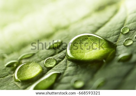 Photo of  Large beautiful drops of transparent rain water on a green leaf macro. Drops of dew in the morning glow in the sun. Beautiful leaf texture in nature. Natural background