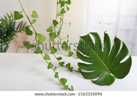 Large beautiful green Monstera leaf.