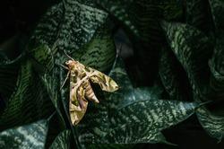 Large beautiful Oleander hawk-moth - Army green moth on snake plant dark green leaves
