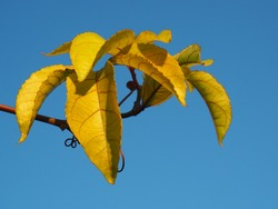 Large beautiful yellow passion fruit leaves have red stripes and wavy shape.Distinctive leafs, contrasting with the blue background.