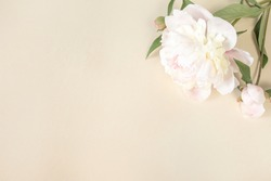 Large beige-pink peony flower on a light paper background with space for text. Image for the design of greeting cards on the theme of wedding, Mother's Day, birthday and other greetings