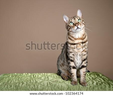 Large bengal leopard cat sitting for studio shot