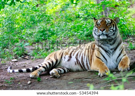 LARGE BENGALESE MALE TIGER SMELLING THE AIR IN THE FOREST