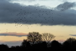 Large big flock of birds flying high in the sky over bare trees silhouette against sunset orange beautiful sky with glowing orange clouds during winter evening nature reserve Nottingham Mansfield