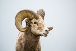 Large Bighorn sheep ram with full curl eating grass with mouth open chewing food. Near the border of Canada and Montana