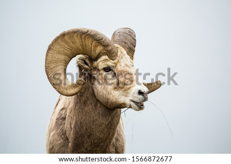 Large Bighorn sheep ram with full curl eating grass with mouth open chewing food. Near the border of Canada and Montana #1566872677