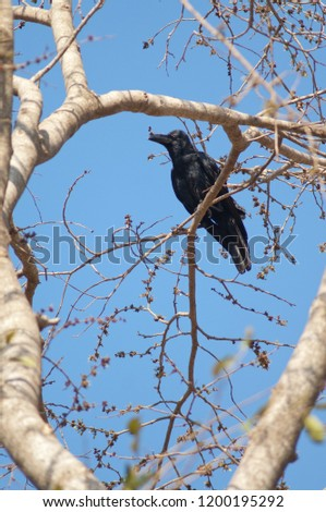 Large-billed crow (Corvus macrorhynchos). Sasan Gir. Gujarat. India.