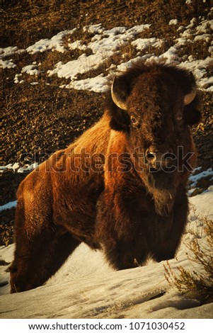 Large Bison Standing on Mountainside in Snow #1071030452