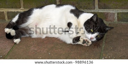 Large black and white male cat lying down on side, for use as banner image