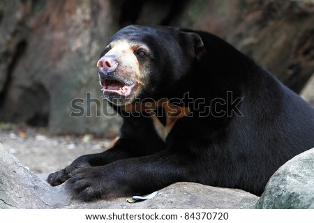 Large Black Bear in zoo