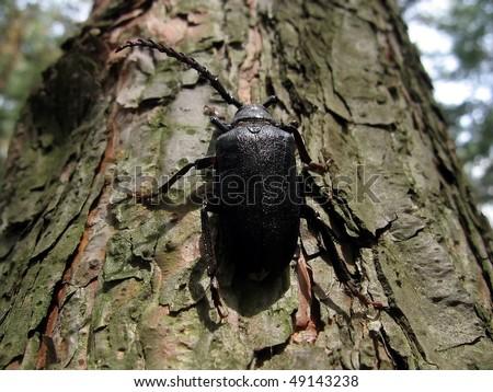 stock-photo-large-black-beetle-49143238.jpg