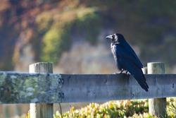 Large black crow sitting on a fence post
