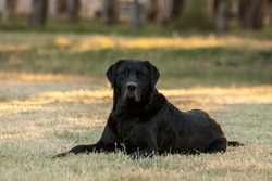 Large black dog lying on the grass in a park looking towards the camera