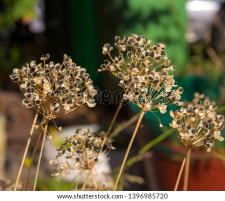 Large black seeds from dainty flower heads of white garlic chives Allium tuberosum, (commonly known as garlic chives, Chinese chives, Oriental garlic, Chinese leek ,kow choi) forming in autumn . #1396985720