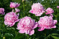 Large blooms of three peony in a garden.