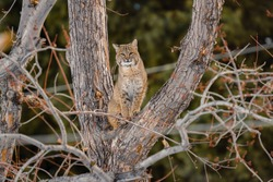 Large Bobcat High Up In Cottonwood Tree Looking For Dinner