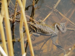 large brown frog in the water and the grass and the reeds, close-up