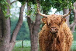 Large brown scottish highlander grazes in the dutch forest early spring