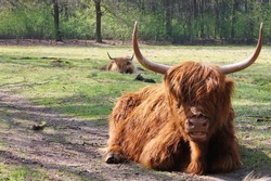 Large brown scottish highlander lies on the ground in the green forest