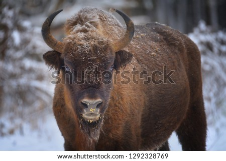 Large brown wisent in the winter forest. Wild European brown bison (Bison Bonasus) in winter. European wisent in natural habitat.