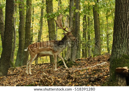 Large buck of tha fallow deer walking through the forest. A nice male of the antler. #518391280
