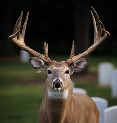Large buck staring into the camera with very large antlers.