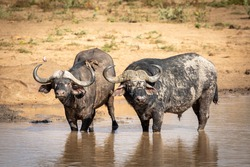 Large buffalo bull and a female with ox peckers on her back standing in shallow muddy water looking alert in Kruger Park in South Africa