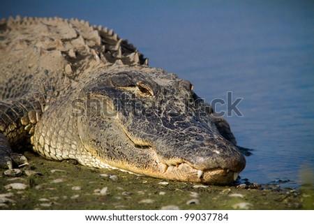 Large bull alligator soaks up Florida sunshine