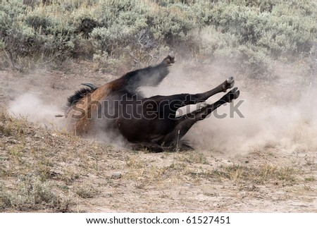 Large bull bison enjoying a wallow in the dust in Yellowstone National Park