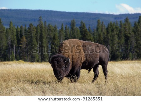 Large Bull Bison grazing in grassy meadow with trees and mountains in background in Yellowstone National Park in Wyoming. - stock photo