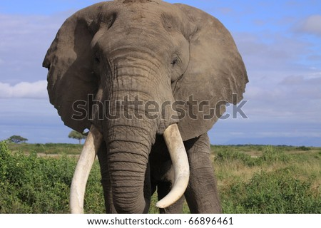 Large bull elephant in the African savanna