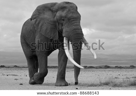 Large bull elephant looking for females, Amboseli National Park, Kenya - stock photo