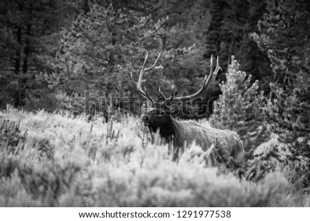 Large Bull Elk in Black and White