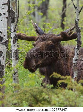 Large Bull Moose in a grove of Aspen trees, Grand Teton National Park, in spring, with the antlers just forming and covered in velvet; near Jackson, Wyoming, and Jackson Lake