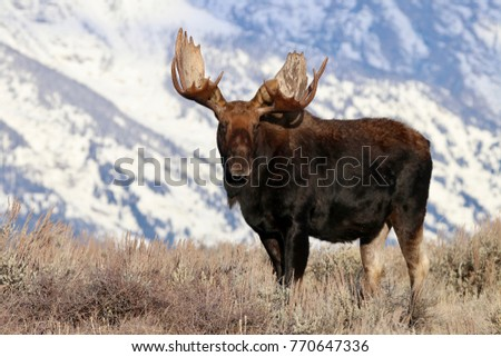 Large bull moose in Wyoming