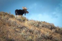 Large bull moose standing on a hillside on a fall evening in Grand Teton National Park