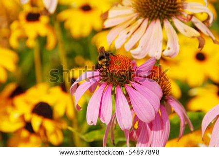 Large bumble bees on a purple cone flower in the garden at the Oregon State Capitol in Salem Oregon
