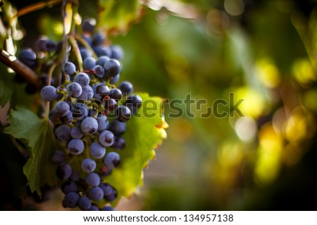 Large bunch of red wine grapes hang from a vine, warm. Ripe grapes with green leaves. Nature background with Vineyard.  Wine concept