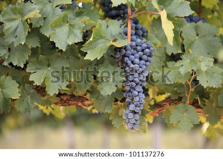 Large bunch of red wine grapes hanging from a lush green vine in soft warm light.