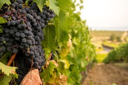 Large bunch of red wine ripe grapes before the harvest on a vineyard in Chianti region, Tuscany, Italy