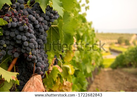 Large bunch of red wine ripe grapes before the harvest on a vineyard in Chianti region, Tuscany, Italy Photo stock ©