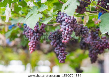 Large bunches of red grapes hang from a vine. Beautiful nature vineyards