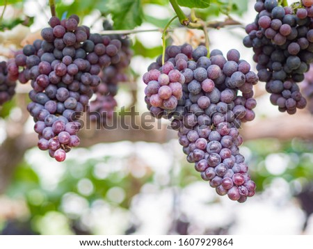 Large bunches of red grapes hang from a vine. Beautiful nature vineyards. Health fruit concept