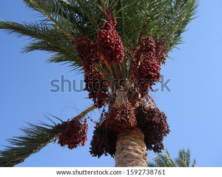 Large bunches of red ripe dates hang on a palm tree against the blue skies