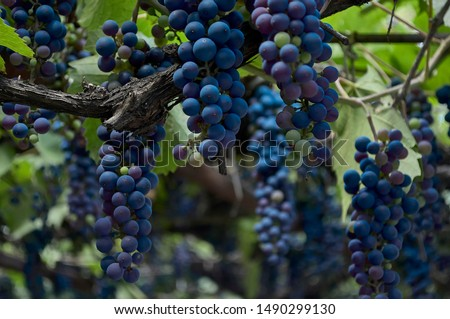 Large bunches of red wine grapes hang from an old vine in warm afternoon light