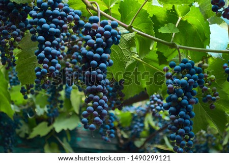 Large bunches of red wine grapes hang from an vine
