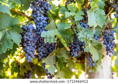 Large bunches of ripe red wine grapes hang from old vines in the Riverland wine region in South Australia Foto stock ©