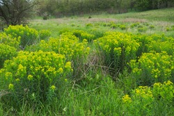 large bushes of Euphorbia esula (commonly known as green spurge or leafy spurge) in the wild in summer